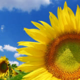 Hi-Oleic Sunflower Oil Bulk