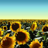 Hi-Oleic Sunflower Oil Australia