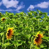Sunflower Oil Australia